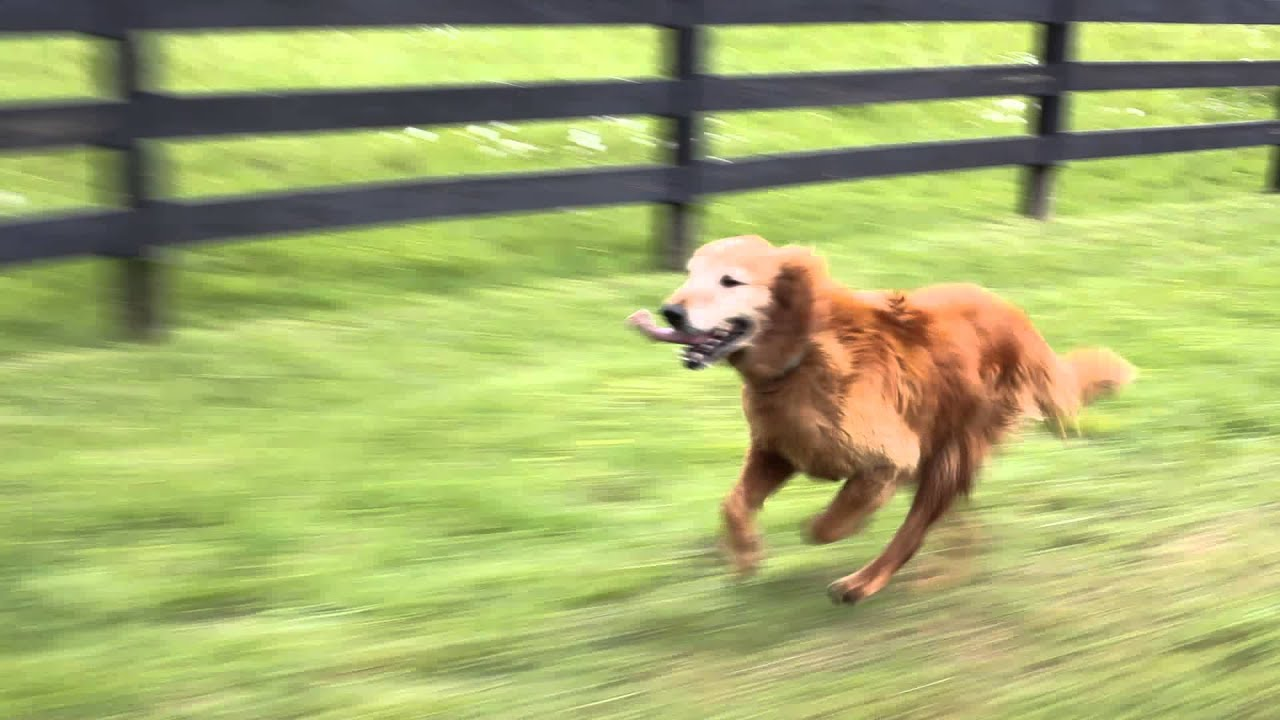 Image result for golden retriever running