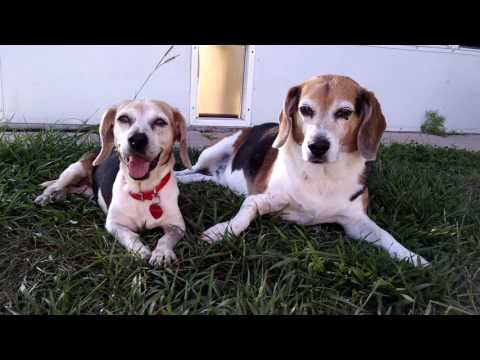 LILAC (foster beagle) and BAILEY Beagles Chilaxin' on Memorial Day 2016