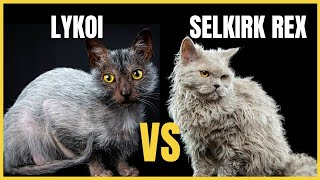 Lykoi Cat VS. Selkirk Rex Cat