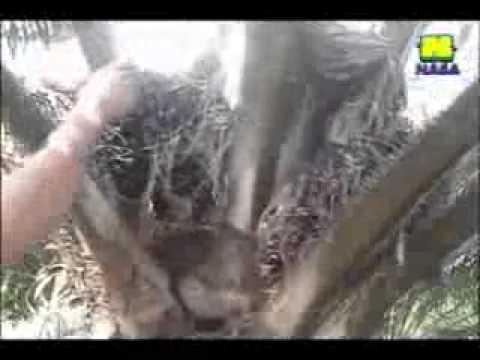 pupuk untuk meningkatkan rendemen, bobot dan jumlah buah kelapa sawit | INFO 082226195453