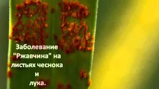 видео Грибковые и вирусные болезни яблонь