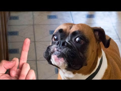 Dog Really Hates Middle Finger Compilation