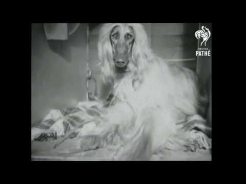 Afghan Hound  Cruft's Dog Show 1965