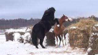 Клип. Два коня. Знакомство.