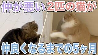 仲が悪い2匹の猫達の距離を縮める大作戦!〜シャルテト仲良しへの道〜