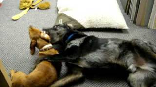 Dachshund And Lab Mix Play Fight