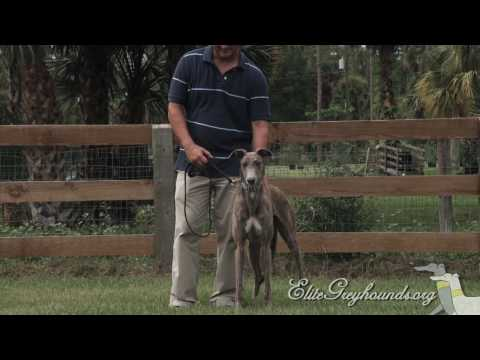 Greyhounds for families with kids!