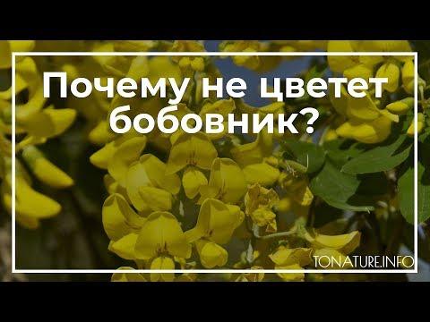 Вопрос: Какие есть сорта бобовника с розовыми цветками?