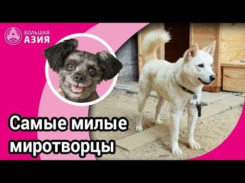 Вопрос: Что за порода собак корейский сапсари?