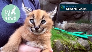 Caracal kittens, a chubby hedgehog & adorable red panda cubs!