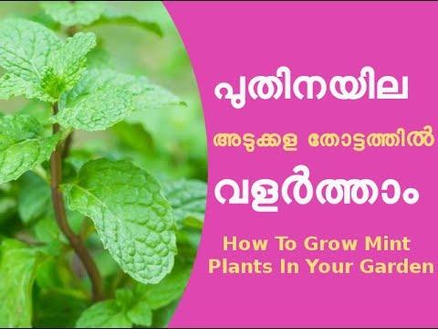 വീട്ടാവശ്യത്തിനുള്ള പുതിനയില ഇനി അടുക്കള തോട്ടത്തിൽ Mint Cultivation Tips Kerala Home Garden