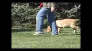 Yellow Labrador Retriever Puppy On Leash