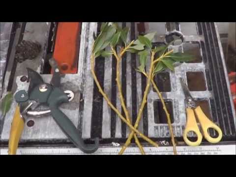 An Easy Way to Root Willow Cuttings