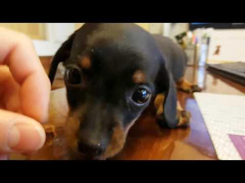 Black & tan Shorthaired dachshund eating jerky / 간식 먹는 블랙탄 단모 닥스훈트