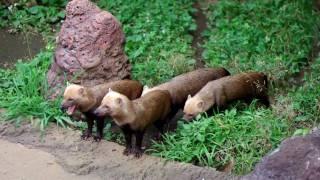 パナマからアルゼンチン北部に生息しているヤブイヌです。4匹並んで歩...