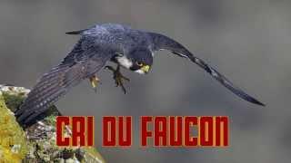 CRI du FAUCON - HAWK sounds  - FALKE geräusch - odgłos jastrzębia