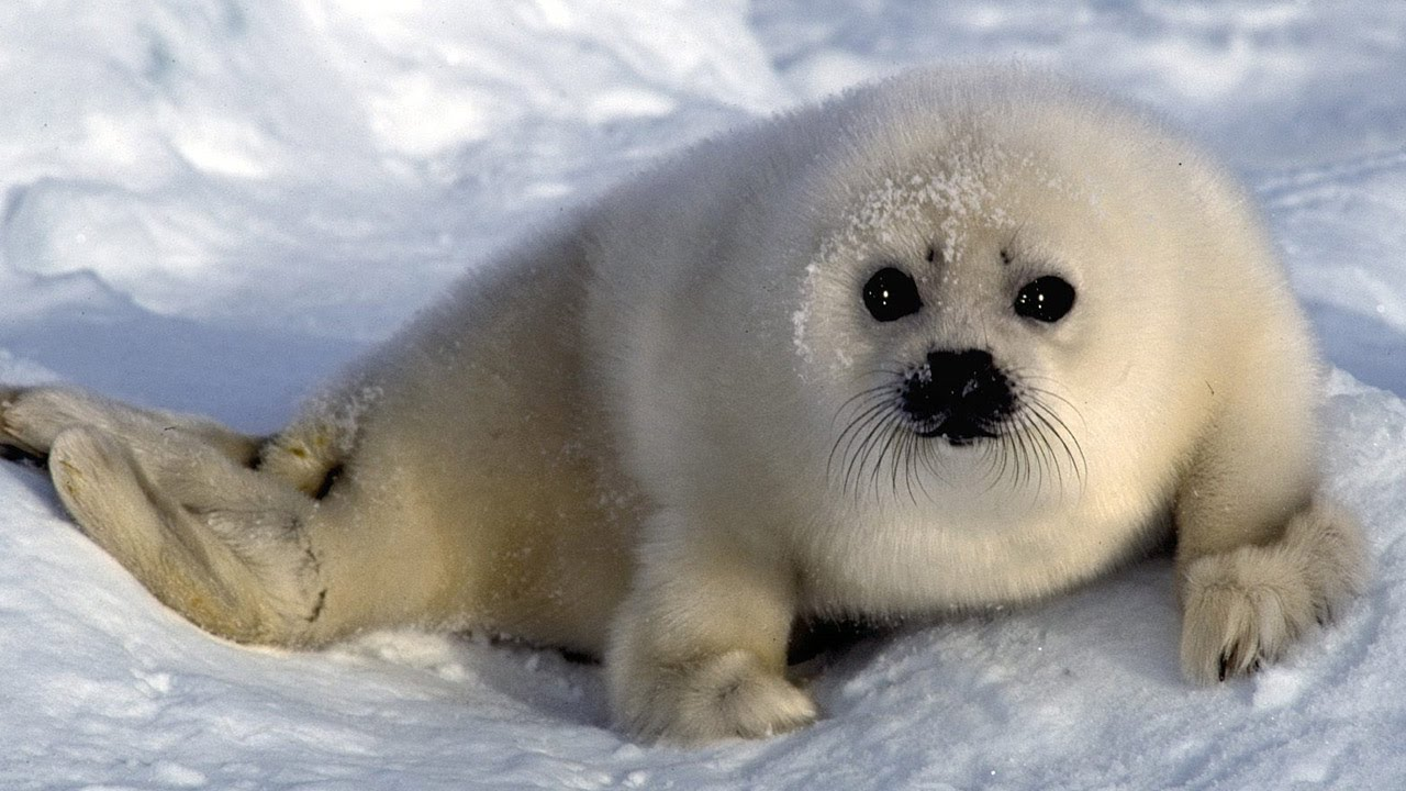 animal animals arctic artic children polar seal baby song cute antarctic seals facts animales fauna harp hd wildlife ocean sea