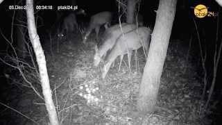Jelenie i Łanie w karmisku dla zwierząt w lesie na Podkarpaciu
