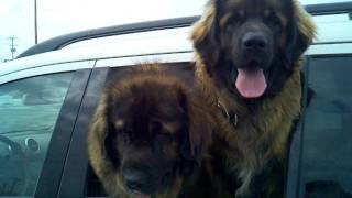 Leonberger Dogs Outside Of Marden's