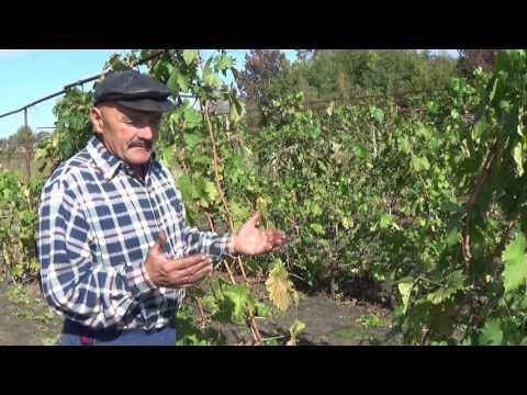 Обзор сорта винограда Байконур. Продолжение.