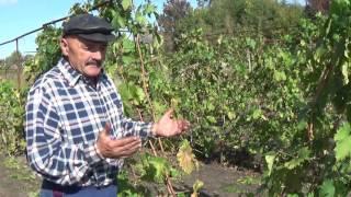 Обзор сорта винограда Байконур. Продолжение.(В сентябре прошлого года виноградник был прихвачен морозом. В этом видео рассказ о том, как сорт винограда..., 2016-09-30T11:41:01.000Z)