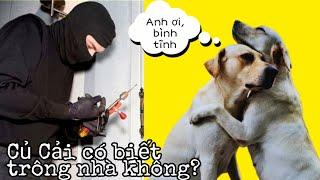 Thắc mắc bấy lâu, Củ Cải có biết trông nhà không | My Dog's Reaction when Someone Knocks On The Door