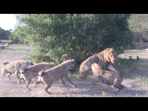 LION Vs HYENA - EPIC AUDIO