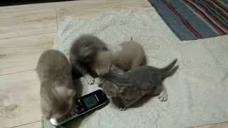 Британские прямоухие котята