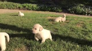 Video Yellow Labrador Puppies for sale download MP3, 3GP, MP4, WEBM, AVI, FLV Juni 2018