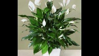 видео Спатифиллум фото и уход в домашних условиях - Спатифиллум (Женское счастье). Уход, пересадка, полив цветка