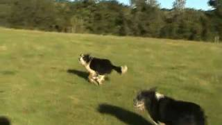 silly dogs. Two happy Border Collies.