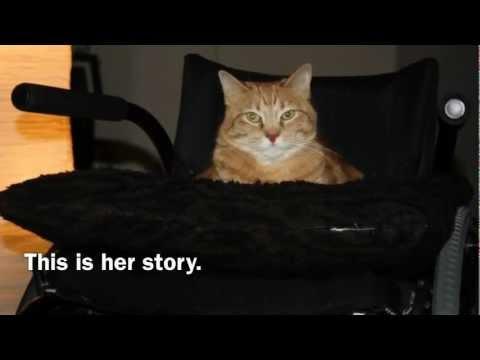Wheelchair Cat, Trust Fund Kitty