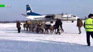 Потеряли Санта Клауса  северные олени прилетели в Якутск на обычном самолёте