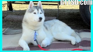 CAMPING with the HUSKIES in SNOW | Dogs Love Camping