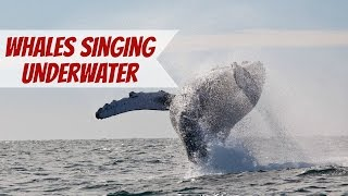 The Sound of Whales Singing Underwater in Cabo