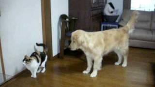 来月で10歳の先輩三毛猫と生後半年のゴールデンの子犬、 どうやらだい...