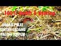 Suara Pikat Sintar Ladang Terbukti Ampuh  Mp3 - Mp4 Download