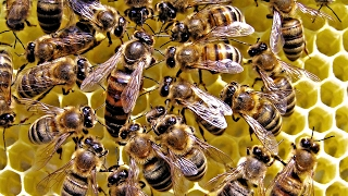 Bee Army: How They Protect The Queen Bee - HD Documentary