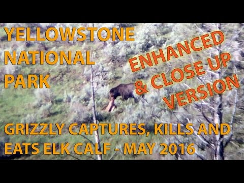 CLOSE-UP VERSION of YELLOWSTONE GRIZZLY EATS ELK CALF 2016