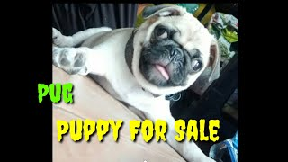 Pug Puppy For Sale // Cantact …