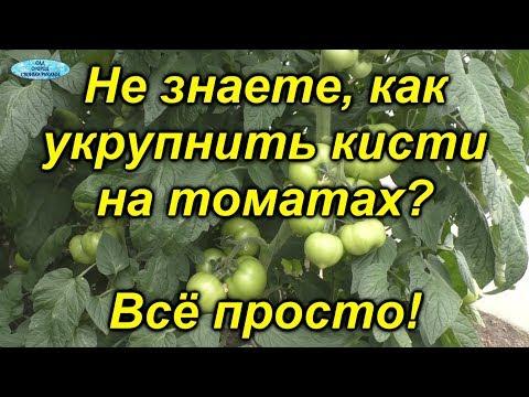 Именно эта подкормка даёт урожай крупных томатов!