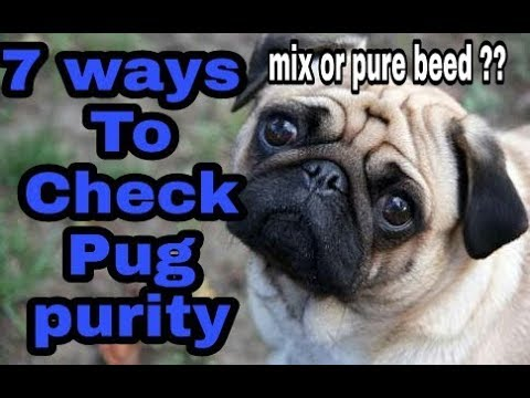 Pug purity  how to check | registration | in hindi| dogs biography