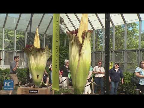 Not one but two! Rare corpse flowers bloom at Chicago garden