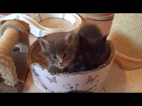 Maine Coon Babys (I1) 5 Wochen alt