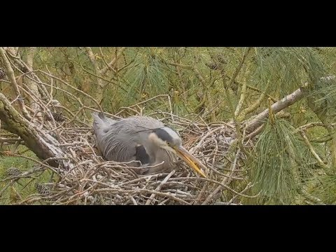 Blue Heron mama patiently waiting for eggs to hatch | The Dodo Tranquil Tuesdays LIVE