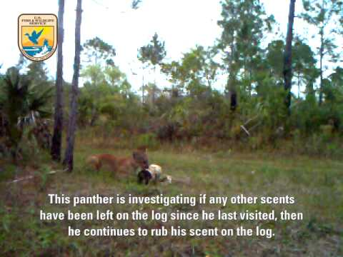 Endangered Florida Panthers In The Wild: Video 4/4