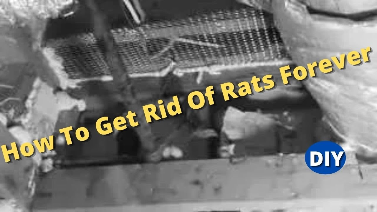 how to get rid of rats forever and protect your house from roof