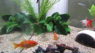 30 cm cube aquarium and flock of freshwater fish ! 【 Emotional education for my son # 1 】淡水魚飼育30cm水槽
