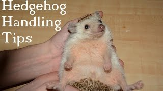 Hedgehog Handling Tips for new Pet Owners!