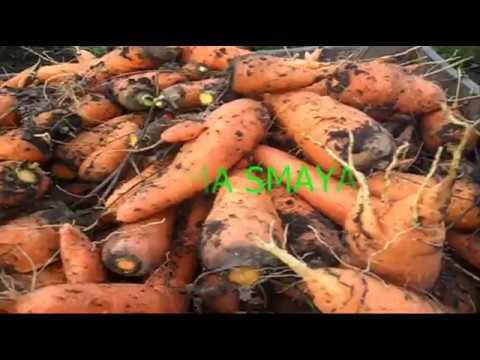 Скосил ботву моркови в июле  Уборка, что получилось